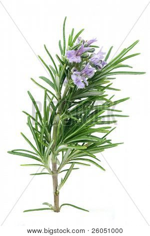 Branch of blossoming rosemary isolated on white