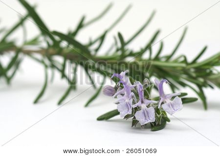 Rosemary flowers an branch on white background