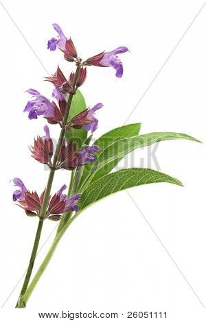 Sage flowers and leafs isolated on white