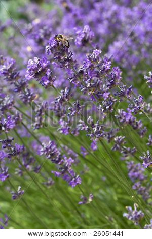 Honey bee resting on a lavender flower