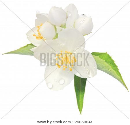 Jasmine Flower Mock Orange Blossom Macro Closeup Isolated, Philadelphus Coronarius L. Lewisii Native