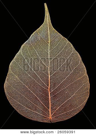 aspen leaf isolated on black