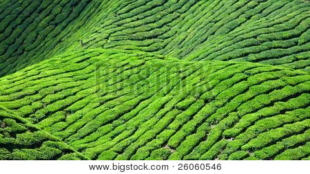 tea  plantation,
