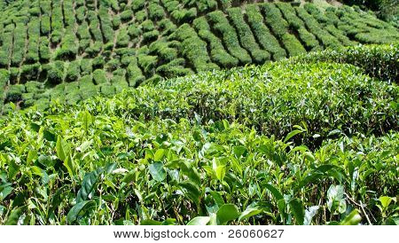 tea trees in cameron highlands  Malaysia,