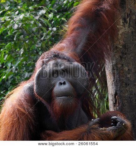 orangutan, in sarawak ( borneo  )