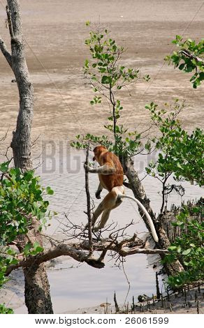 proboscis; monkeys in borneo