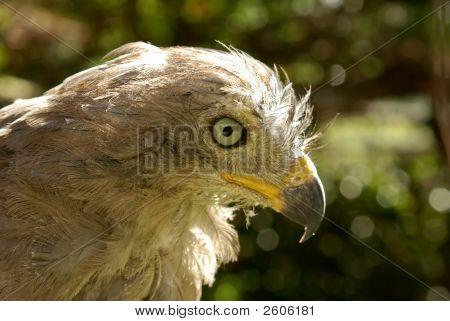 Varmint Bird - African Hawk Close-Up Portrait