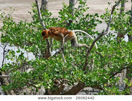 proboscis monkeys in borneo