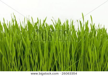 lots of wheat-grass isolated on white