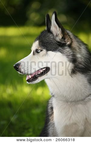 Husky dog in the summer forest