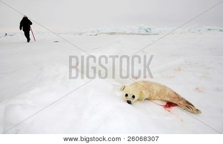 Baby harp seal pup on ice of the White Sea - ecotourism in Arctic - the best way to protect seals