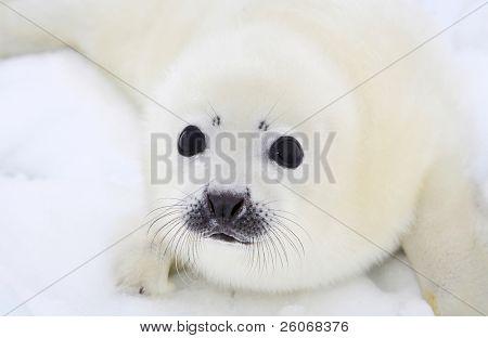 Bebé harp seal pup en el hielo del mar blanco