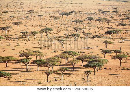 Landscape on Socotra island  - savanna type