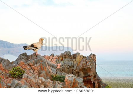 Egyptian Vulture on the rock top at the crack of dawn - (Neophron percnopterus)