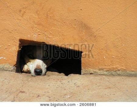 Dog  Peering