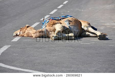 Camel on the road. Dead or just relaxing?