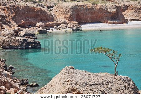 Boswellia tree (Frankincense tree) with turquoise sea water background at Socotra island