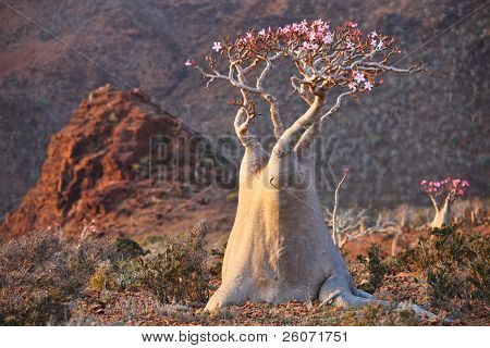 Bottle tree in bloom - adenium obesum � endemic tree of Socotra Island