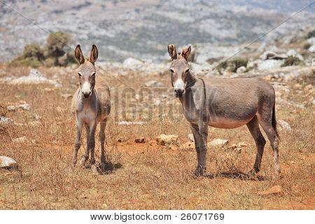 Two donkeys mule. Island Socotra