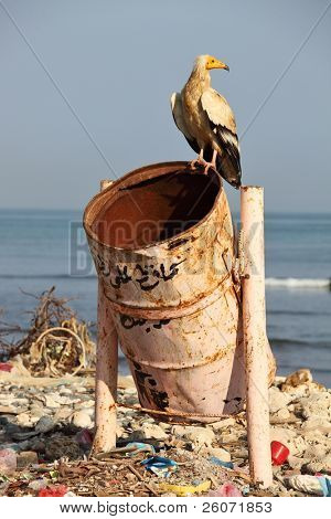 Egyptian vulture on rubbish-bin (beach of Soctra Island in Hadibo town)
