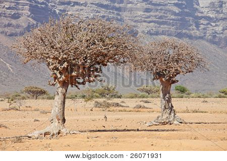 myrrh tree (Commiphora myrrha is a tree in the Burseraceae family)