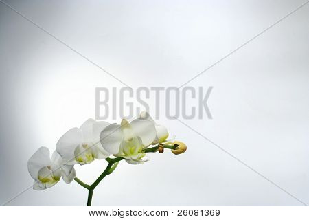 White moth orchid (Phalenopsis sp.) over a gray background.