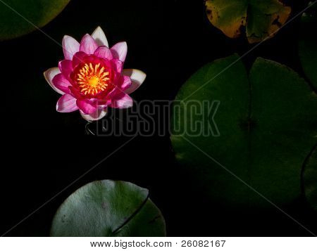 A single pink hardy water lily blossom.