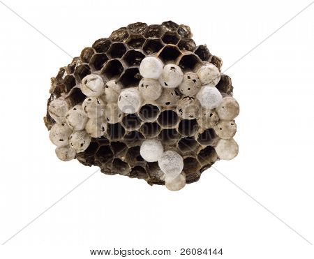 Paper wasp's nest with live young wasp inside combs.
