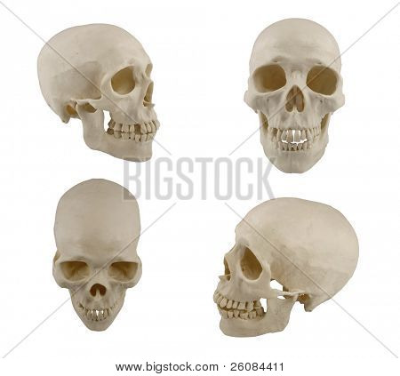 Four views of human skull model isolated on white