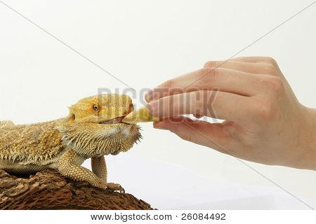 Bearded Dragon (Pogona vitticeps) being hand fed on white background.