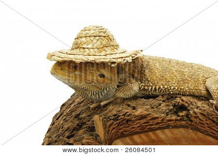 Bearded Dragon (Pogona vitticeps) with hat on white background.