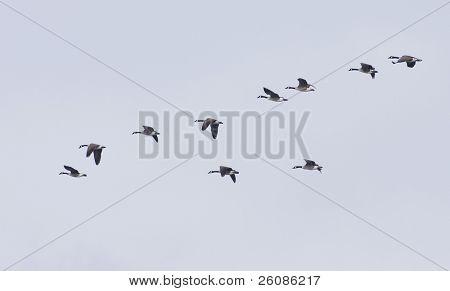 Flying geese in v shape against gray blue sky