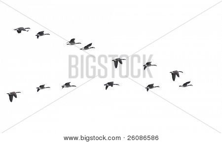 Flying geese in v shape isolated on white background