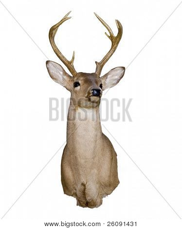 Mounted deer head isolated on white