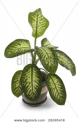 House plant over white with clipping path.   Dumb Cane. Dumb Plant.