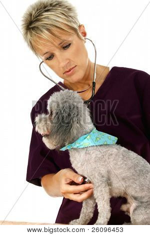 Woman veterinarian giving poodle a check-up