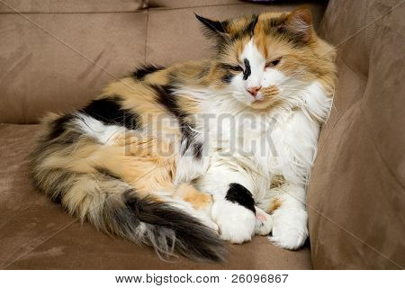 Calico Cat Half Asleep