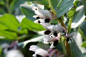 foto of green bean  - Broad bean flower - JPG