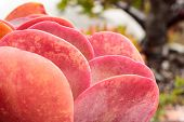 Vivid Magenta, Orange Color, Pink Close-up Of Single Homegrown Pancake Succulent, Background Texture poster
