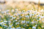Summer Natural Background Field Of Chamomiles. Blurred Bokeh Wildflower Meadow. poster