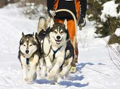 picture of sled dog  - Dog - JPG