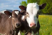 picture of quadruped  - Close up of a two young calfs - JPG