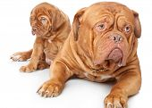 stock photo of dogue de bordeaux  - Puppy and dog of Dogue de Bordeaux  - JPG