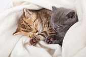 stock photo of funny animals  - two little funny scottish fold kittens - JPG
