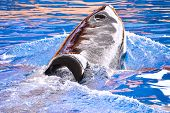 Photo Picture Of A Mammal Orca Killer Whale Fish poster