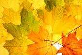 image of fall leaves  -  Autumn fall leaves - JPG