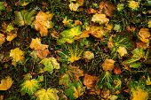 Wet Maple Yellow Leaves On The Wet Ground. Outdoor, Autumn Concept. Rainy Weather. poster