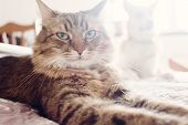Beautiful Tabby Cat Lying On Bed In Soft Morning Light. Fluffy Maine Coon With Funny Emotions Restin poster