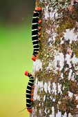 stock photo of cocoon tree  - Caterpillars - JPG