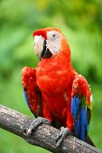 picture of endangered species  - Parrot - JPG